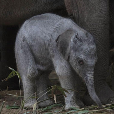Dublin Zoo welcomes a new baby elephant Banner Image