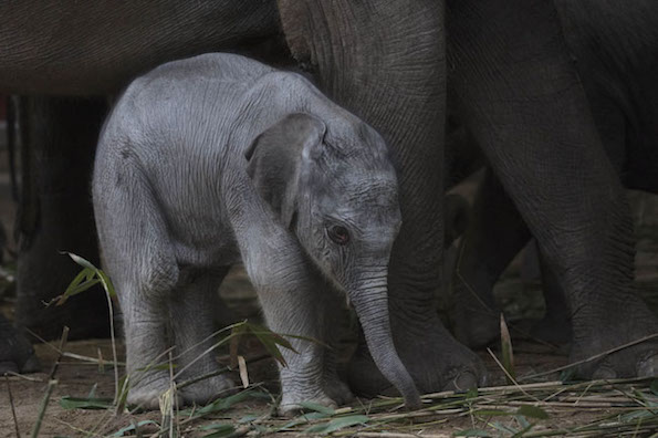 dublin zoo welcomes a new baby elephant the doyle collection