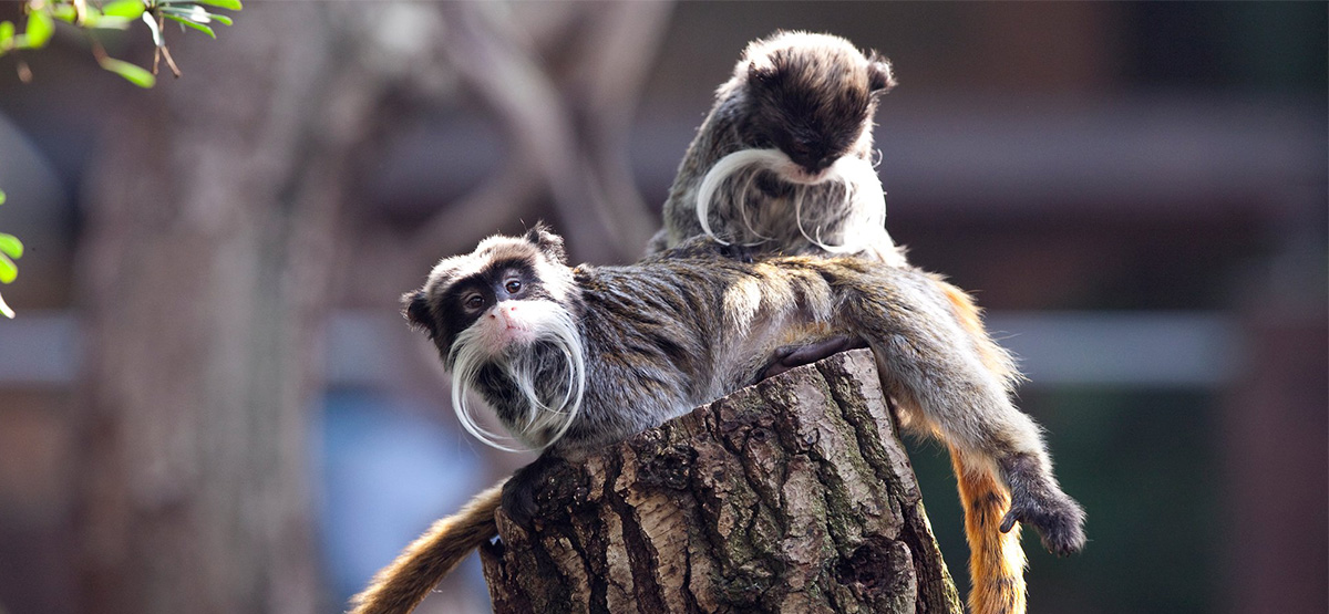 Two small monkeys on a tree stump in London Zoo