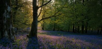 Forest with purple flowers on the ground