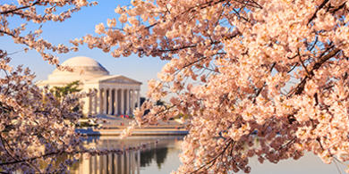 cherry blossoms overlooking the washington monument