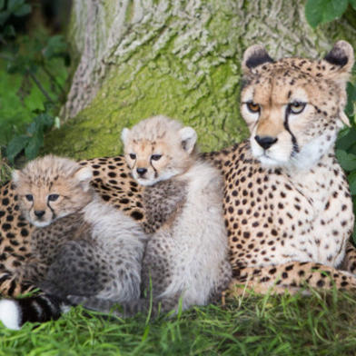 Family of cats from Fota Wildlife Park, County Cork